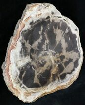 "7.5"" Petrified Wood Round - Sweethome, Oregon For Sale, #24194"
