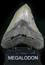 "Buy Huge, Serrated 5.78"" Megalodon Tooth - North Carolina - #24436"
