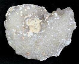 "2.1"" Agate/Chalcedony Replaced Ammonite Fossil For Sale, #25502"