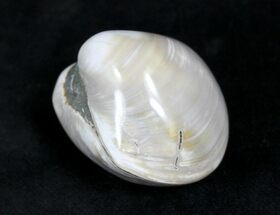 Polished Fossil Astarte Clam - Medium Size For Sale, #25580