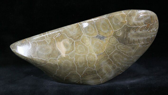 "6"" Polished Fossil Coral - Morocco"