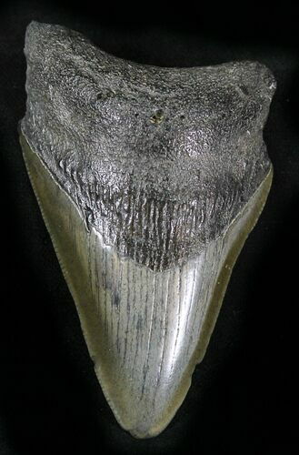 "Bargain 3.25"" Lower Megalodon Tooth"