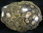 "3.9"" Polished Fossil Coral Head - Morocco - #25761-1"