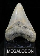 "Buy 5.05"" Megalodon Tooth - North Carolina - #25777"