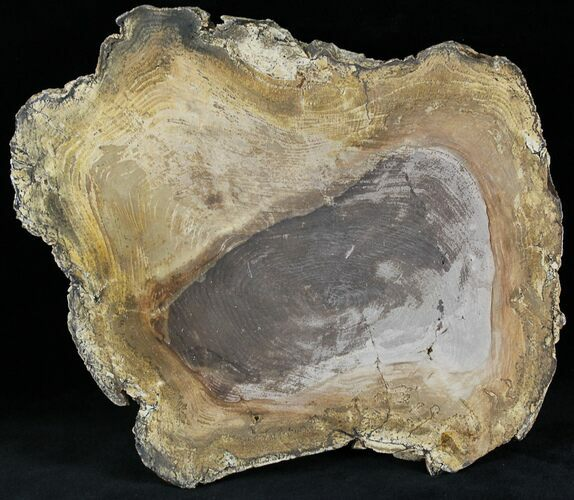 "8"" Petrified Wood Slab -  Sweethome, Oregon (Clearance Price)"
