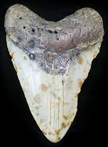 "Bargain 4.17"" Megalodon Tooth - North Carolina"