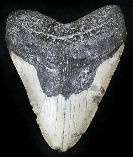 "Bargain 5.39"" Megalodon Tooth - North Carolina"