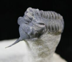 "Buy Cute 1.3"" Morocconites Trilobite On Limestone Pedastal - #25837"