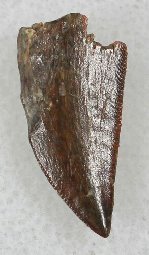Raptor Tooth From Morocco - .76""