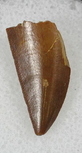 Bargain Raptor Tooth From Morocco - .69""