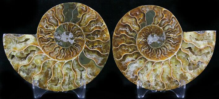 "3.5"" Polished Ammonite Pair - 110 Million Years"