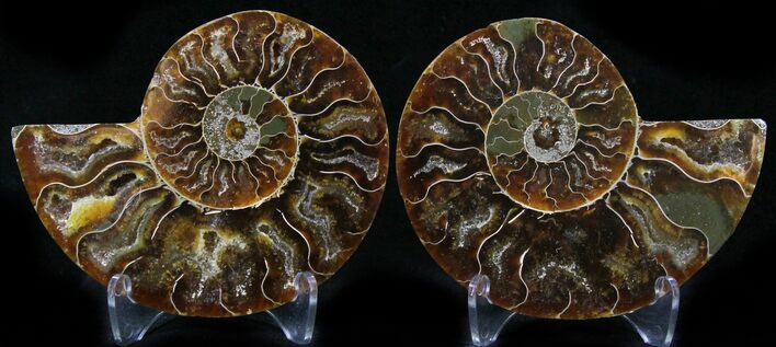 "3.1"" Polished Ammonite Pair - 110 Million Years"