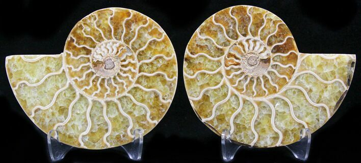 "3.3"" Polished Ammonite Pair - 110 Million Years"