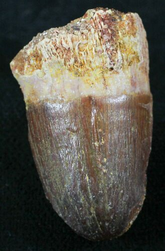 "1.21"" Cretaceous Fossil Crocodile Tooth - Morocco"