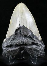 "Large 5.19"" Megalodon Tooth - North Carolina For Sale, #26480"