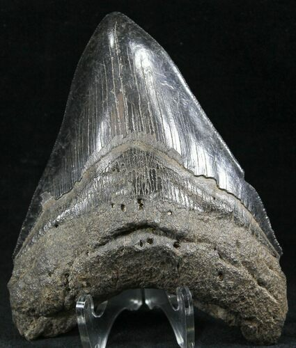 "Black, Serrated, 4.73"" Fossil Megalodon Tooth"