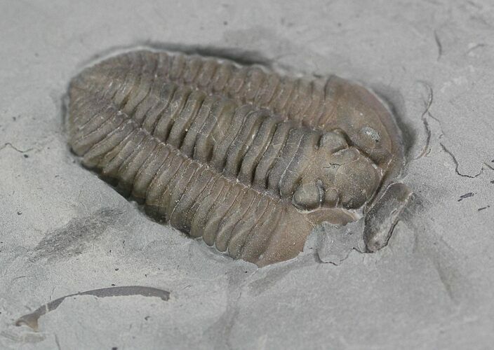 "Bargain 1.05"" Flexicalymene Trilobite From Ohio"