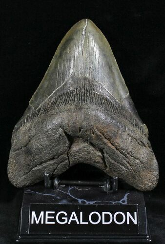 "Massive 5.58"" Megalodon Tooth - South Carolina"