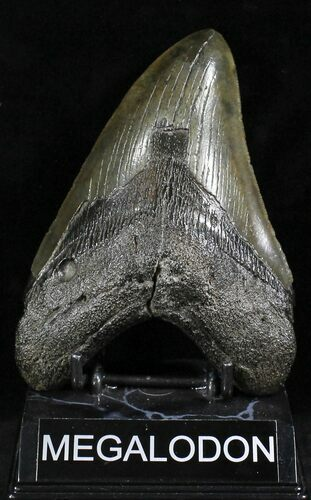 "Monster 5.6"" Megalodon Tooth - South Carolina"