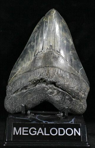 "'Stormy Night' 5.47"" Megalodon Tooth - South Carolina"