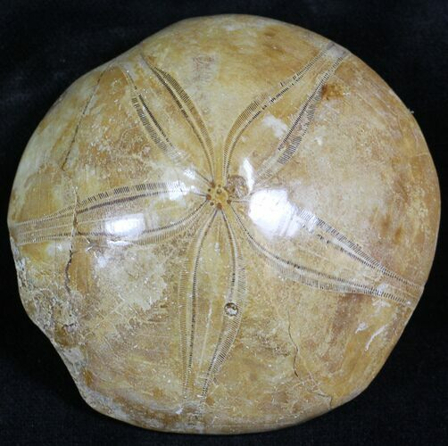 Polished Fossil Sand Dollar - Jurassic