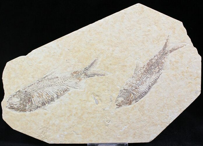 Multiple Knightia Fossil Fish Plate - 7.7x4.9""