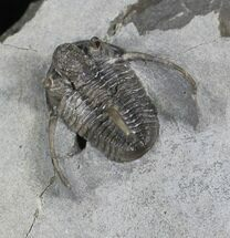 Rare Eifel Cyphaspis Trilobite - Germany For Sale, #27434
