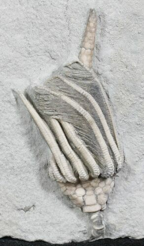 Macrocrinus Crinoid With Preserved Anal Tube - Indiana