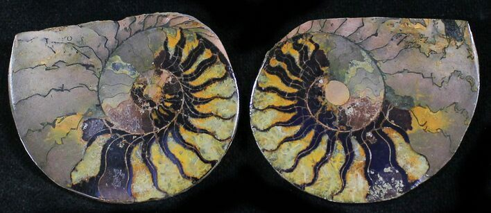 "1.6"" Iron Replaced Ammonite Fossil Pair"
