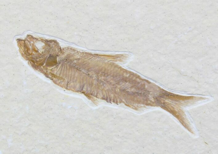 "Bargain 2.1"" Knightia Fossil Fish - Wyoming"