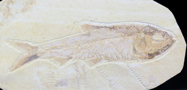 "4.25"" Knightia Fossil Fish - Wyoming"