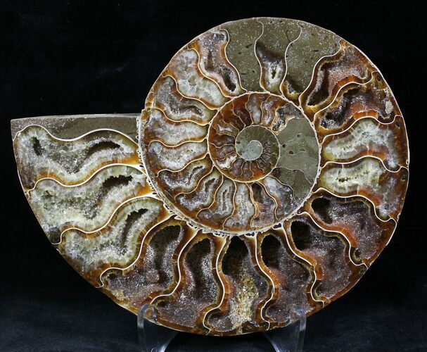 "5.75"" Cut Ammonite Fossil (Half) - Agatized"