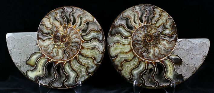 "7.65"" Cut And Polished Ammonite Pair - Agatized"