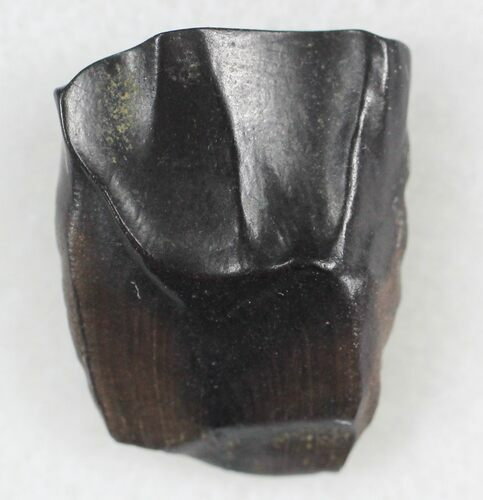 ".68"" Triceratops Shed Tooth - Montana"