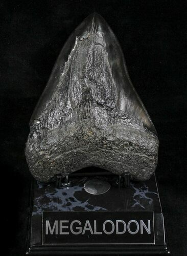 "Serrated, Black 4.99"" Megalodon Tooth - South Carolina"
