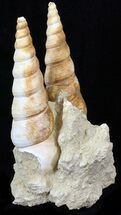 Turritella sp. - Fossils For Sale - #29610