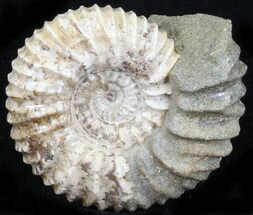 Pavlovia raricostata - Fossils For Sale - #29742