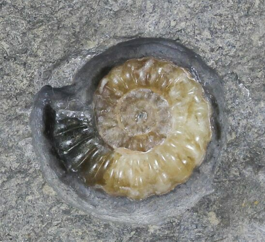 Agatized Promicroceras Ammonite - Dorset, England