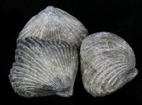 Unidentified - Fossils For Sale - #30894