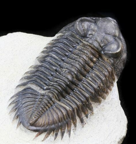 Large Bug-Eyed Coltraneia Trilobite - 2.75""