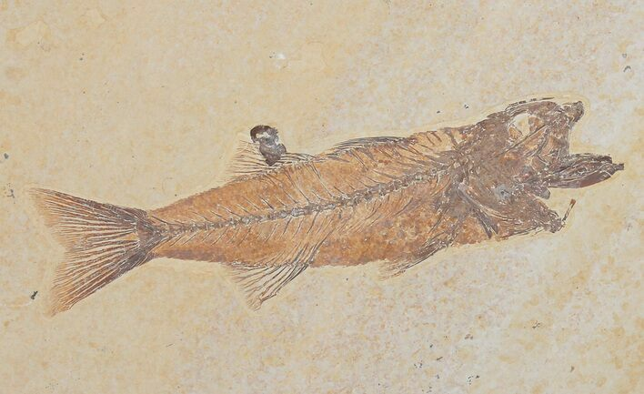 "Uncommon 5.4"" Mioplosus Fossil Fish - Wyoming"