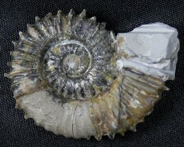 "Buy 2.1"" Aegocrioceras Ammonite - Germany - #31378"