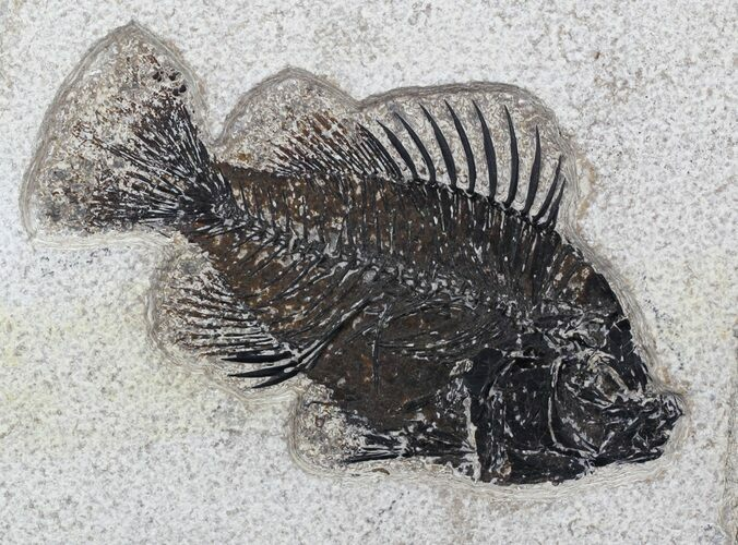 "4.7"" Cockerellites (Priscacara) Fossil Fish - Wyoming"
