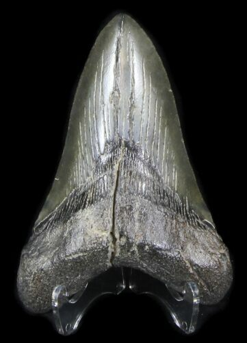"4.98"" Lower Megalodon Tooth - South Carolina"