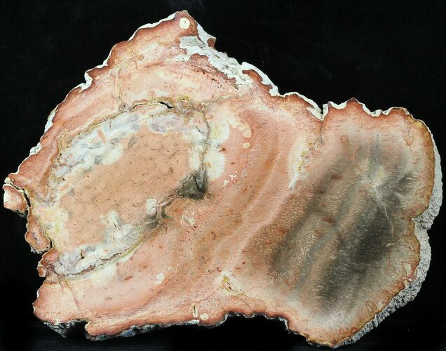 Petrified Tree Fern Slab (Tietea) - 6.1""