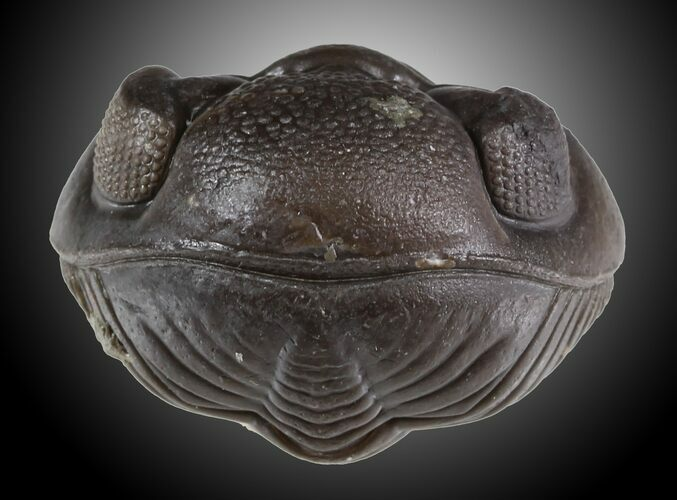 "1.21"" Wide Enrolled Eldredgeops Trilobite - Silica Shale"