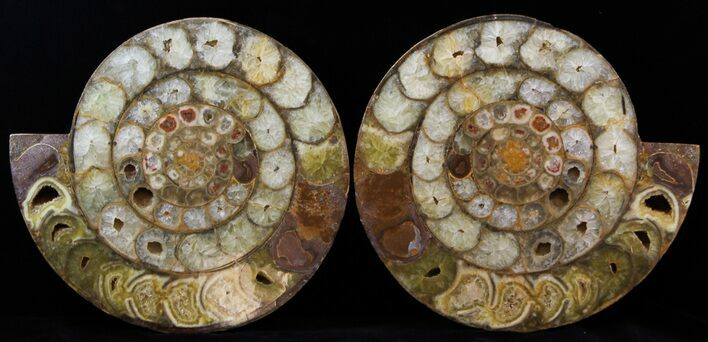 "11.2"" Cut & Polished Perisphinctes Ammonite - Madagascar"
