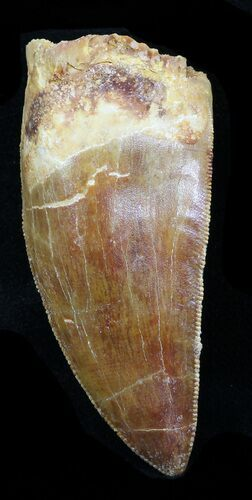 "Robust, Serrated 2.45"" Carcharodontosaurus Tooth"