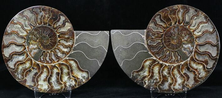 "7.4"" Cut & Polished Ammonite Fossil - Agatized"