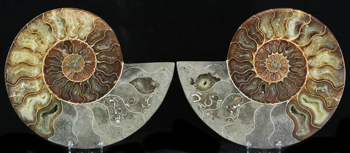 "7.1"" Cut & Polished Ammonite Fossil - Agatized"